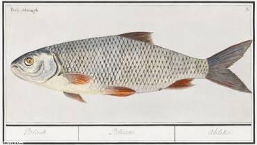 Bliekvissen? Tips en informatie om te vissen op bliek