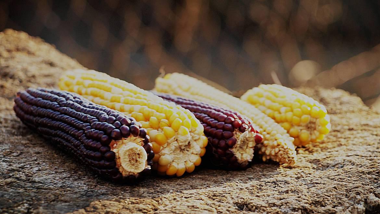 Vissen met maïs